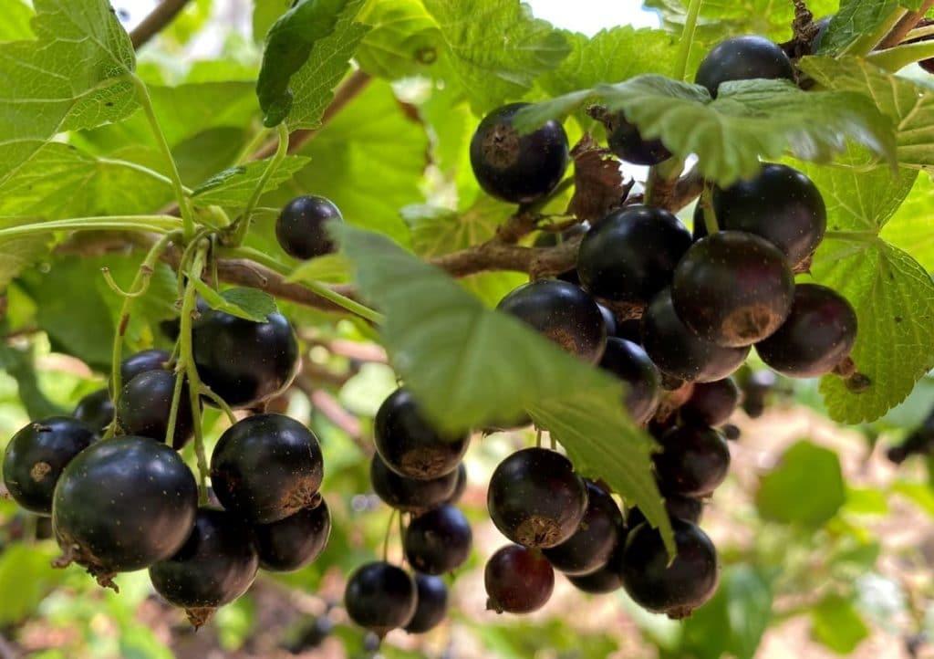 Schwarze Johannisbeeren vor der Ernte